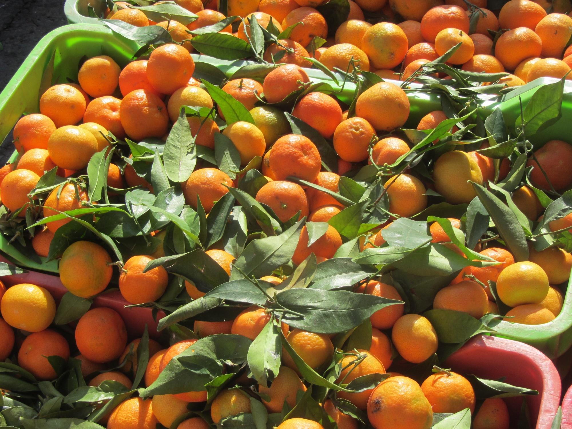 Orangen auf Zypern