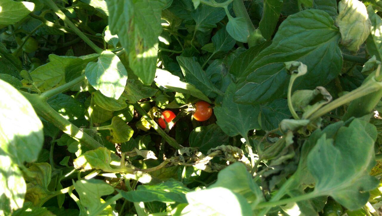 Tomaten Feld