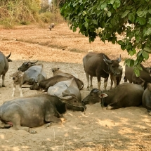 Buffalos Don Khone
