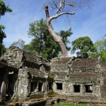 Tree on top Ta Prohm