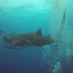 Noch ein Walhai