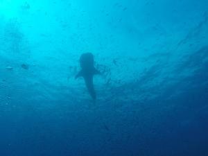 Walhai von unten