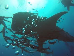 Walhai der 1.