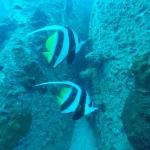 Bannerfisch