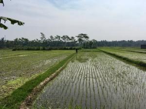 Yogyakarta Reisfelder