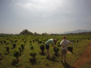 Silk & Tea Organic Farm Laos